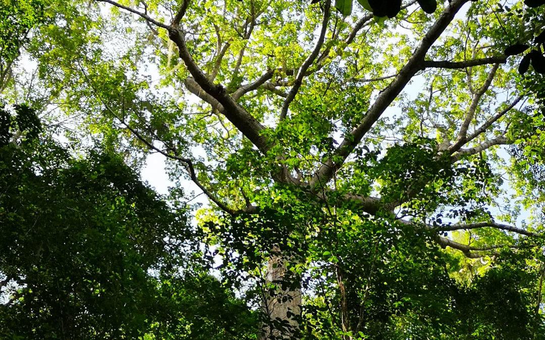 Envol Vert y el Guaimaro: conservación y soberanía alimentaria en un solo árbol